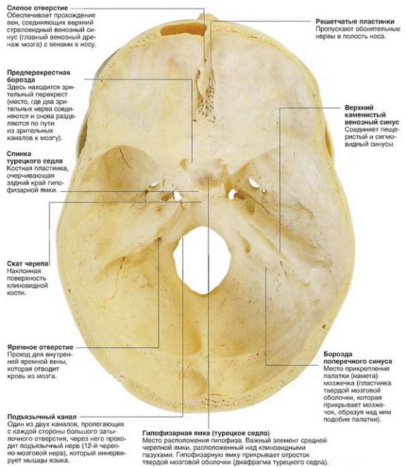 Строение основания черепа