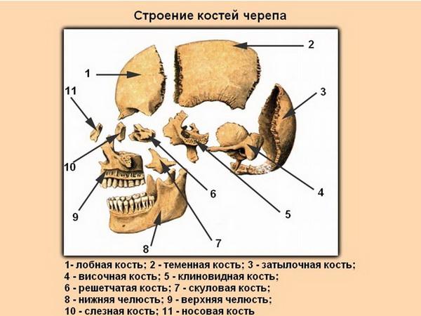 Анатомия черепа