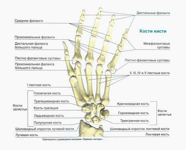 Строение костей кисти